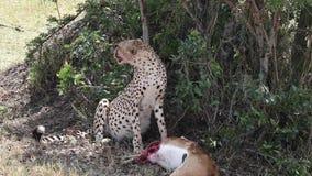 De jachtluipaard doodde een gazelle en ademt zwaar stock footage