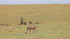 De jachtluipaard gaat in het lange gras savanne stock video