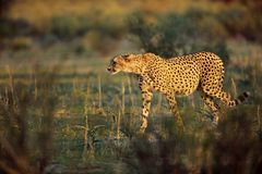 De jachtluipaard jaagt Royalty-vrije Stock Foto