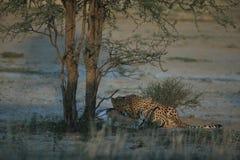 De jachtluipaard jaagt in savanne Royalty-vrije Stock Afbeelding