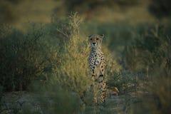 De jachtluipaard jaagt in savanne Stock Fotografie