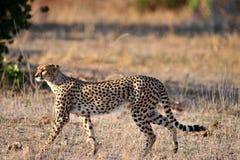 De jachtluipaard op snuffelt rond Royalty-vrije Stock Foto's