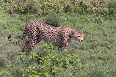 De jachtluipaard op snuffelt rond Royalty-vrije Stock Fotografie