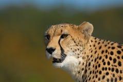De jachtluipaard snuffelt rond Royalty-vrije Stock Afbeeldingen