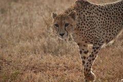 De jachtluipaard staart Stock Foto's
