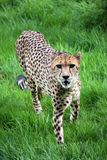 De jachtluipaard staart Stock Afbeelding