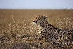 De jachtluipaard stelt Royalty-vrije Stock Afbeelding