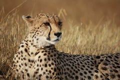 De jachtluipaard stelt Royalty-vrije Stock Afbeeldingen