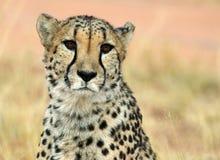 De jachtluipaard van aangezicht tot aangezicht Royalty-vrije Stock Afbeeldingen