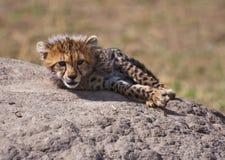 De Jachtluipaard van de baby royalty-vrije stock afbeeldingen