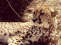 De Jachtluipaard van Zuid-Afrika royalty-vrije stock foto's