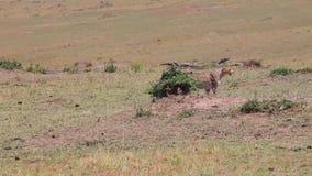 De jachtluipaard verwijdert zich van de camera savanne stock videobeelden
