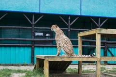 De jachtluipaard zit royalty-vrije stock fotografie