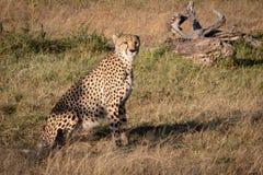 De jachtluipaard zit door dood login gras royalty-vrije stock afbeeldingen