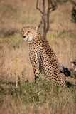De jachtluipaard zit in gras door dood logboek stock afbeeldingen