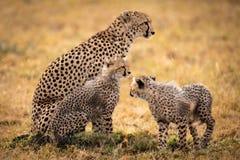 De jachtluipaard zit in gras met twee welpen royalty-vrije stock foto's