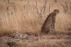 De jachtluipaard zit naast welp liggend in gras royalty-vrije stock afbeelding