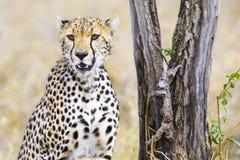 De jachtluipaard zit onder boom en zorgt voor vijanden in Serengeti Stock Foto
