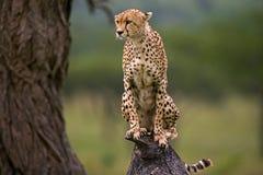 De jachtluipaard zit op een boom in de savanne kenia tanzania afrika Nationaal Park serengeti Maasai Mara stock foto's