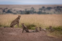 De jachtluipaard zit op spoor naast vier welpen royalty-vrije stock afbeeldingen