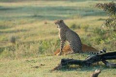 De jachtluipaard zit in de struik lettend op het milieu royalty-vrije stock fotografie