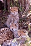 De jachtluipaarden van de baby, Serengeti Vlakte, Tanzania Stock Afbeelding