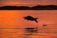 De jachtoverzees Eagle royalty-vrije stock foto's
