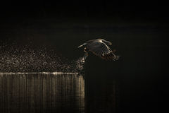 De jachtoverzees Eagle Royalty-vrije Stock Foto
