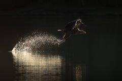 De jachtoverzees Eagle Royalty-vrije Stock Fotografie