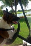 In de Jack Russell-terriër drijvend een kar van het de hond drijfgolf van de golfkar Stock Fotografie