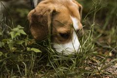 De jager van de brakhond volgt de sleep stock afbeeldingen