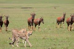 De jager wordt Gejaagd Stock Foto