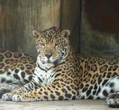 De jaguar Royalty-vrije Stock Foto's