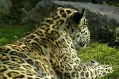 De jaguarbaby Royalty-vrije Stock Foto