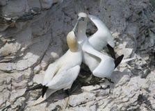 De jan-van-gent zijn zeevogels bestaand uit de soort Morus, in de familie Sulidae, nauw verwant aan domoren Stock Afbeelding