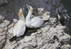 De jan-van-gent zijn zeevogels bestaand uit de soort Morus, in de familie Sulidae, nauw verwant aan domoren Stock Afbeeldingen