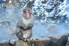 De Japanse Apen van Macaques of van de Sneeuw in de Prefectuur van Nagano Stock Fotografie