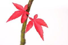 De Japanse Bladeren van de Esdoorn Stock Afbeeldingen