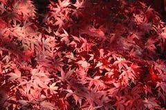 De Japanse bladeren van de Esdoorn Stock Foto's