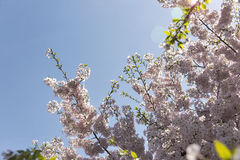 De Japanse bloesems van de kersenboom met lensgloed Stock Afbeeldingen