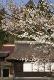 De Japanse Bloesems van de Pruim Stock Afbeelding