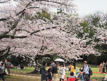 De Japanse het genieten van kers komt festival korakuen binnen tuin tot bloei Stock Foto's
