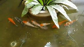 De Japanse karper Koi zwemt in de vijver stock videobeelden