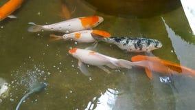 De Japanse karper Koi zwemt in de vijver stock footage
