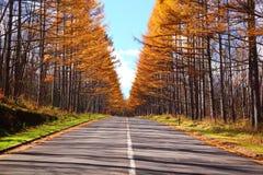 De Japanse lariks van de herfst Royalty-vrije Stock Foto's