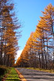 De Japanse lariks van de herfst stock fotografie