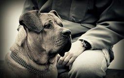 De Japanse mastiff van Tosainu Stock Foto's