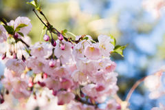 De Japanse tak van kersenbloemen Royalty-vrije Stock Foto's