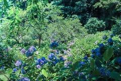De Japanse tuin van Hydrangea hortensiamacrophylla Stock Afbeelding