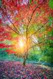 De Japanse Tuin van Seattle, Esdoornboom Royalty-vrije Stock Fotografie